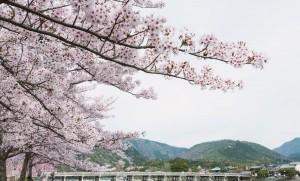 KAL88_arashiyamanosakura20120415_TP_V