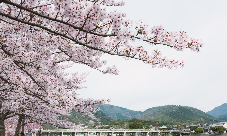春の嵐山の桜!花見の見ごろは?おすすめの駐車場はどこ?