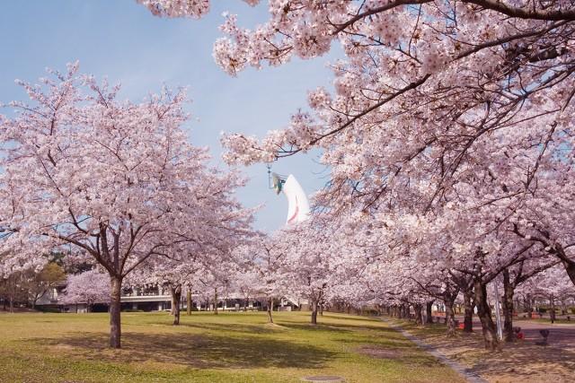 万博記念公園桜まつり!見頃は?駐車場のおすすめはどこ?